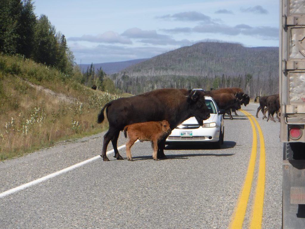 Bison crossing the road: an occupational hazard up here
